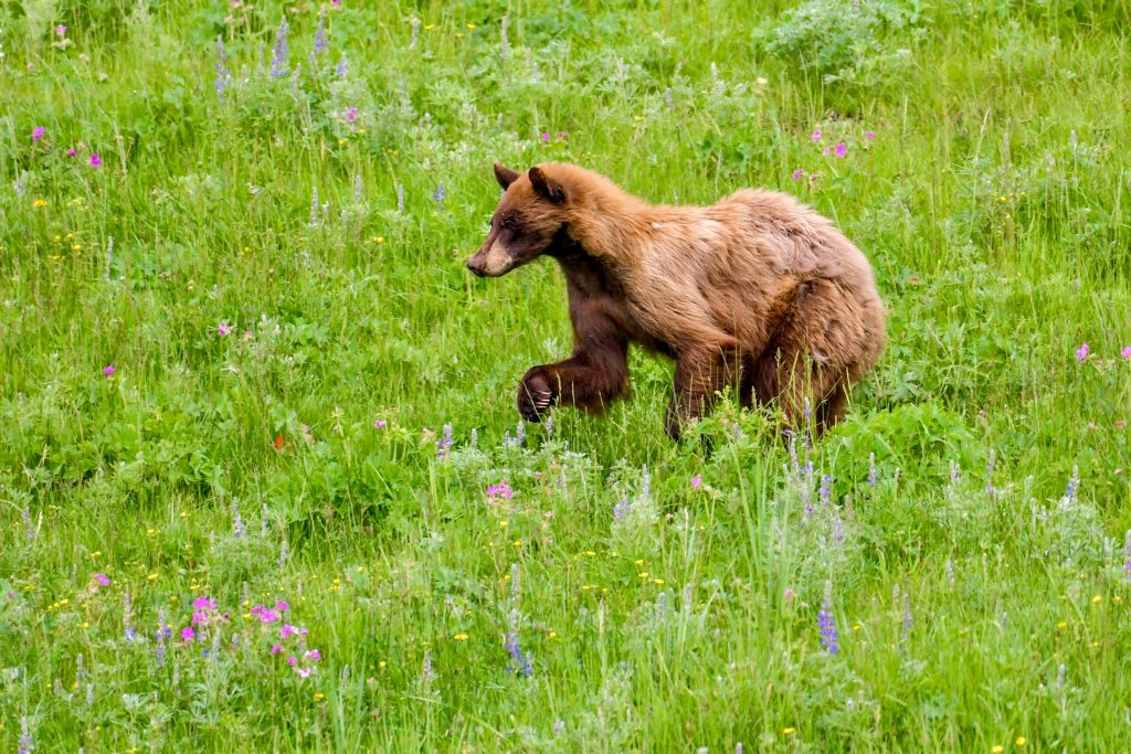 Lamar valley bear